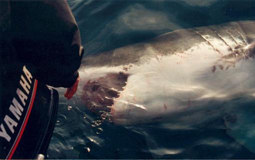 requin homme millions mort