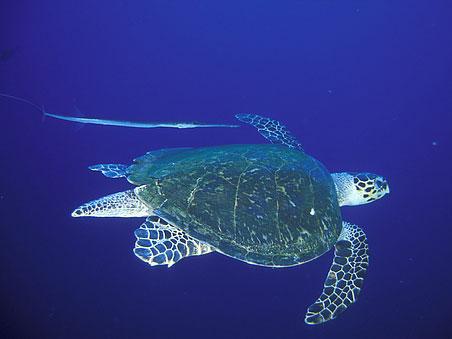 tortue plongée egypte