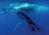 plongée cachalots et baleines à bosse