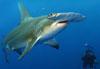 plongée requins