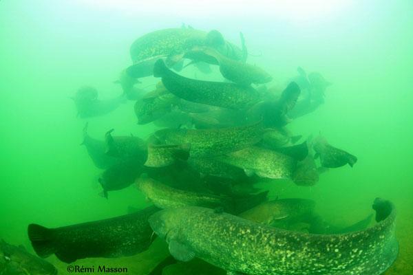 poissons eau douce silures