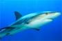 requins mer méditerranée